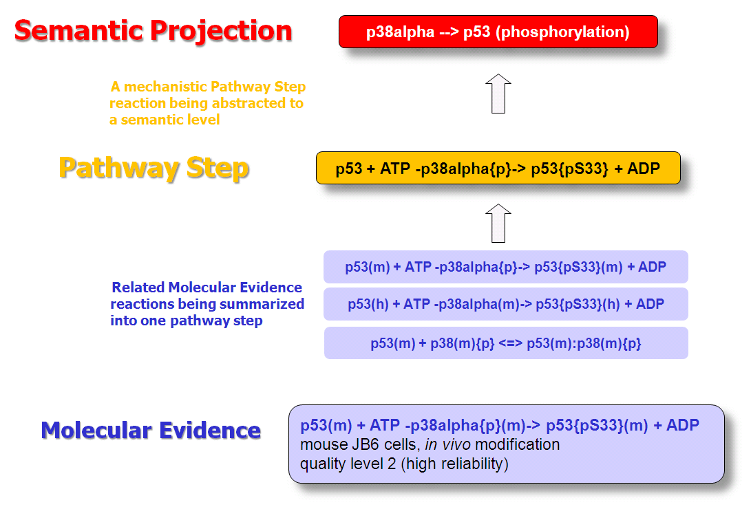 Reaction hierarchy in the TRANSPATH® database of molecular pathways.